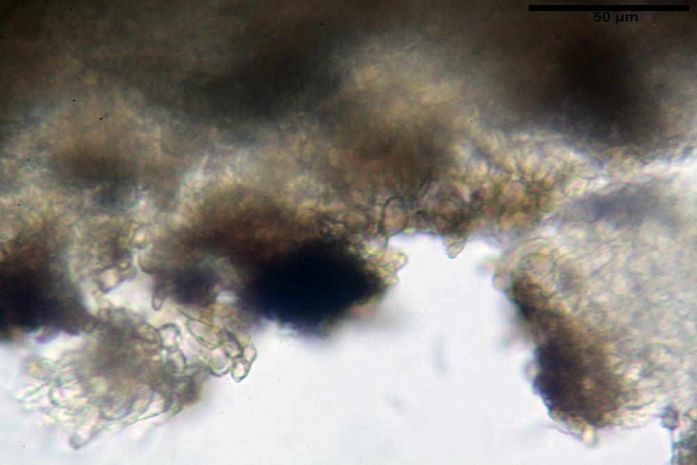 Podophacidium xanthomelum 7945 20_resize.JPG