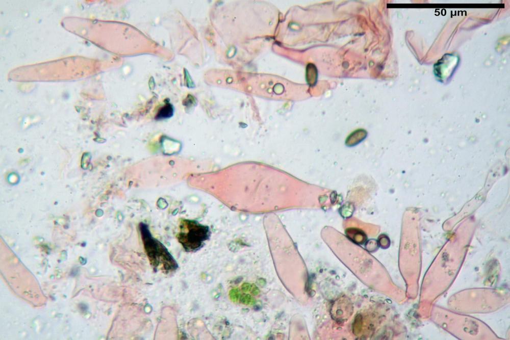 Psathyrella olympiana 33.jpg