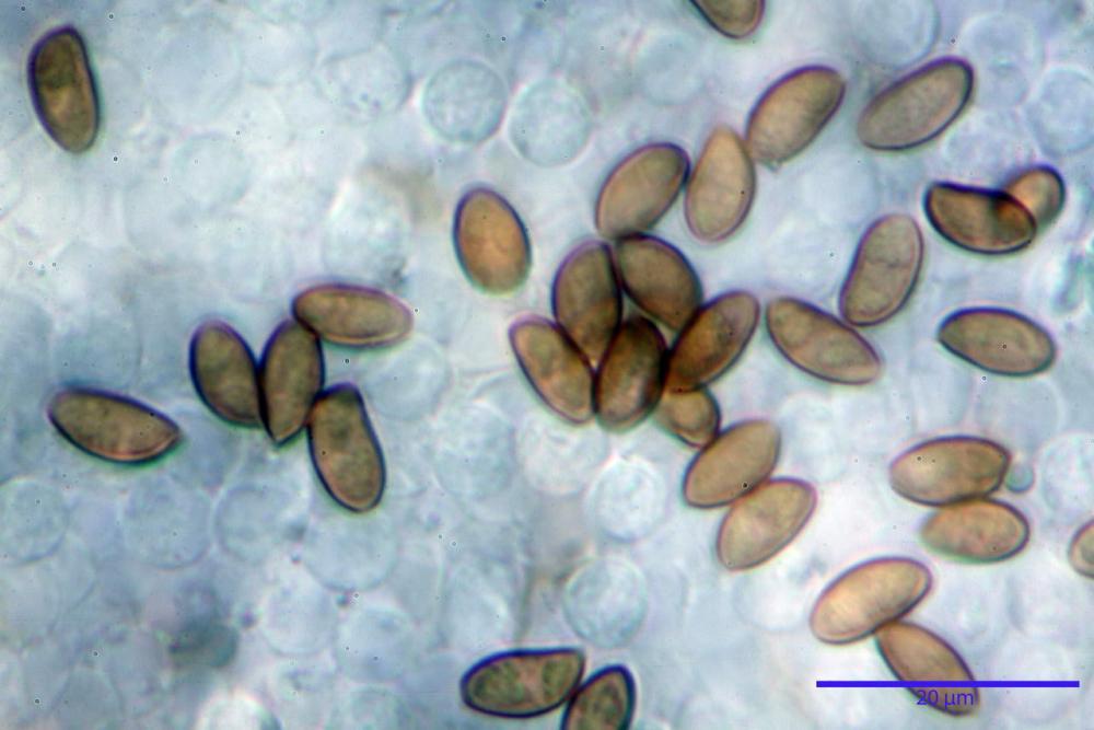 Pholiotina dasypus 7474 19.JPG
