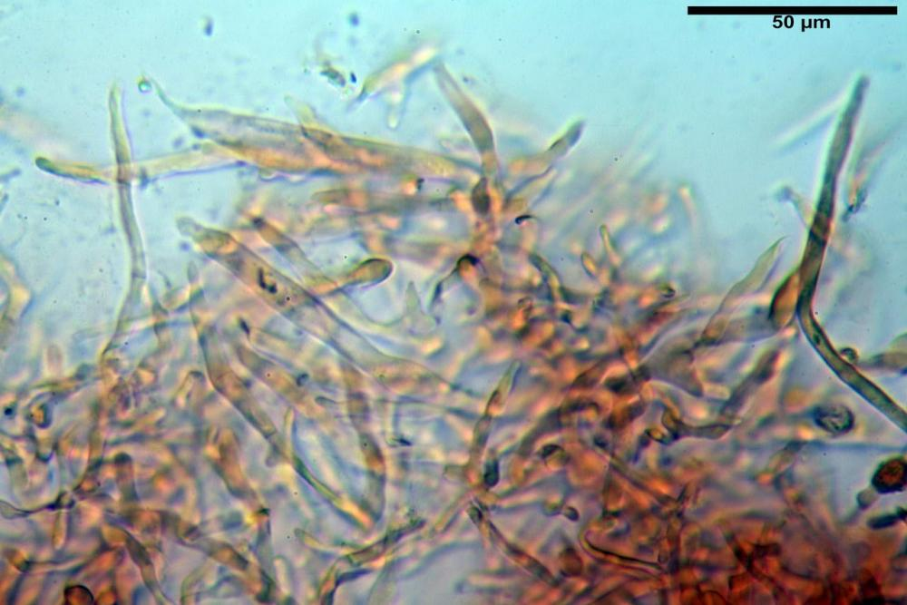 Russula graveolens 6800 07.jpg