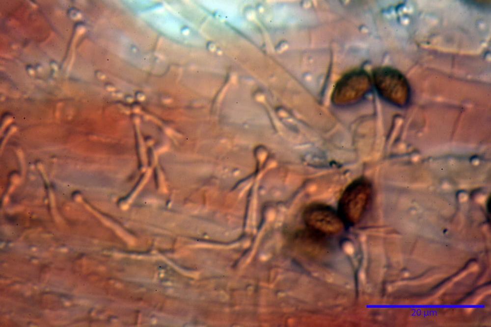 Phaeocollybia lugubris 6657 78.jpg