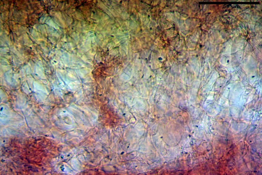 Hypholoma radicosum 6693 08.jpg