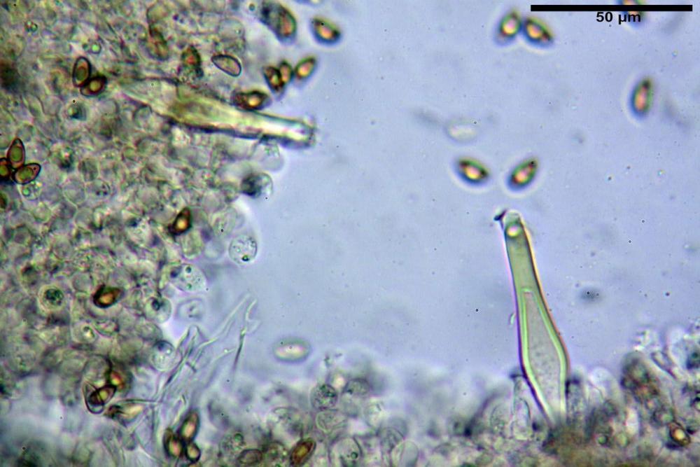 Inocybe flocculosa var crocifolia 7068 42.jpg