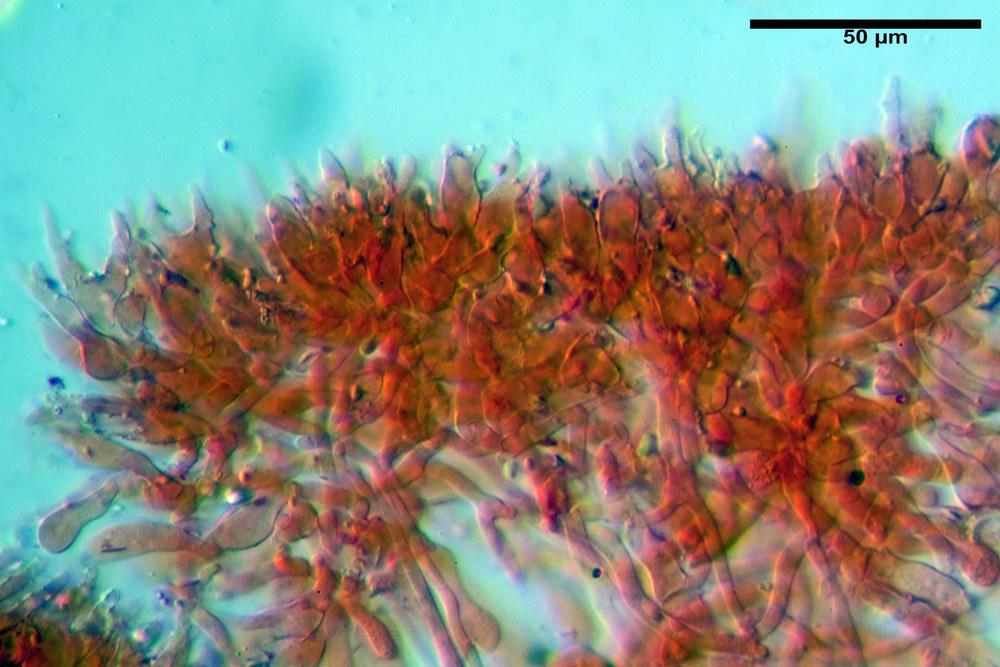 chaetocalathus craterellus 5169 20_resize.jpg