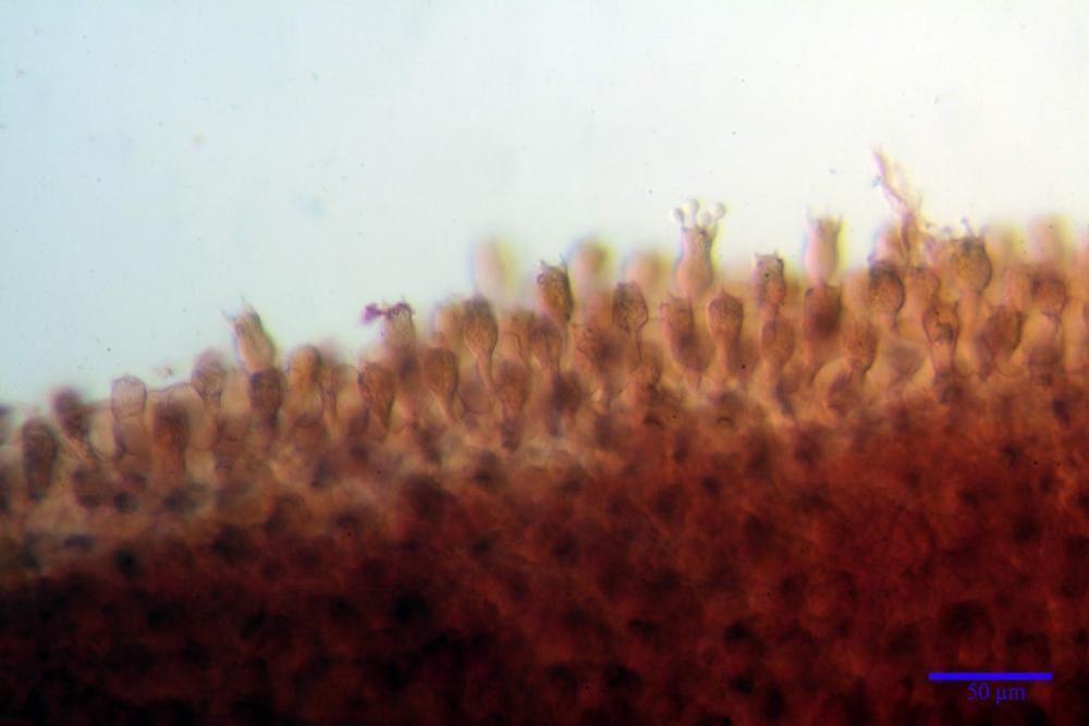 Coprinopsis picacea 6790 22.jpg