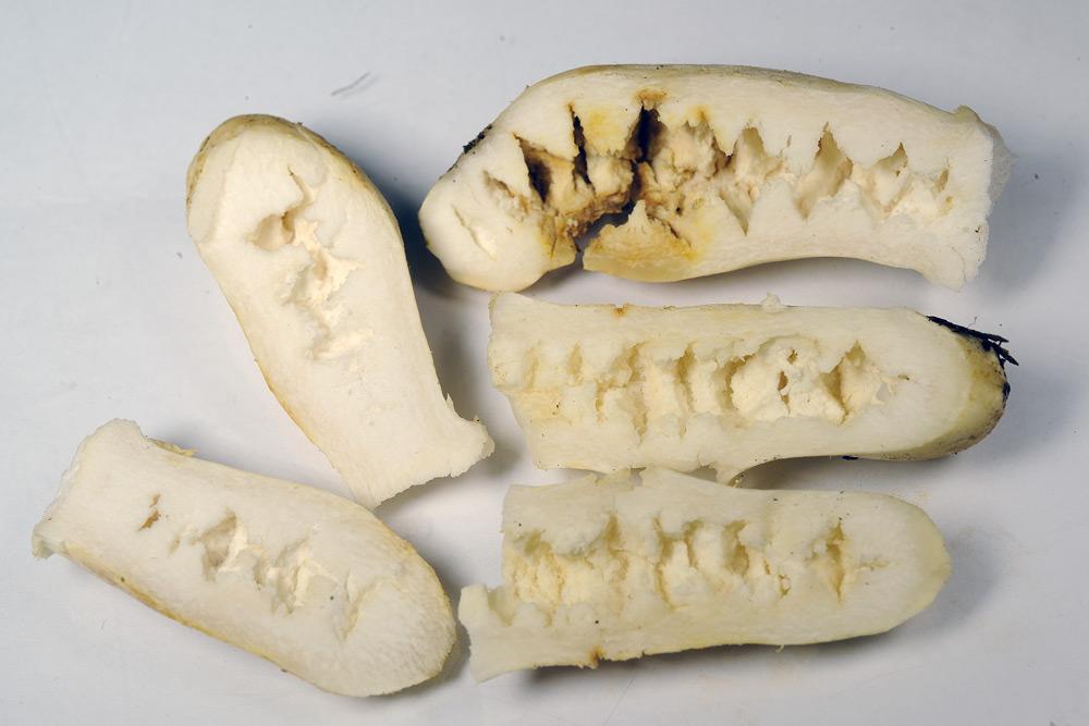 russula farinipes 5001 07.jpg