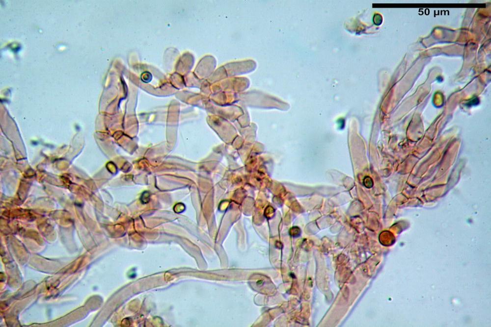 Hypholoma radicosum 6693 11.jpg