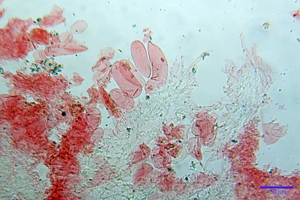 coprinopsis 12.jpg