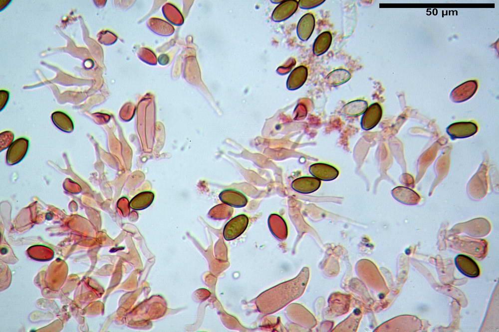psilocybe semilanceata 4872 28.jpg