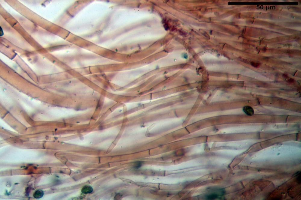 Phaeocollybia lugubris 6657 88.jpg