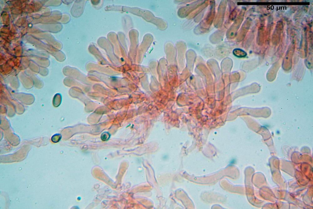 Pholiotina dasypus 7474 13.JPG