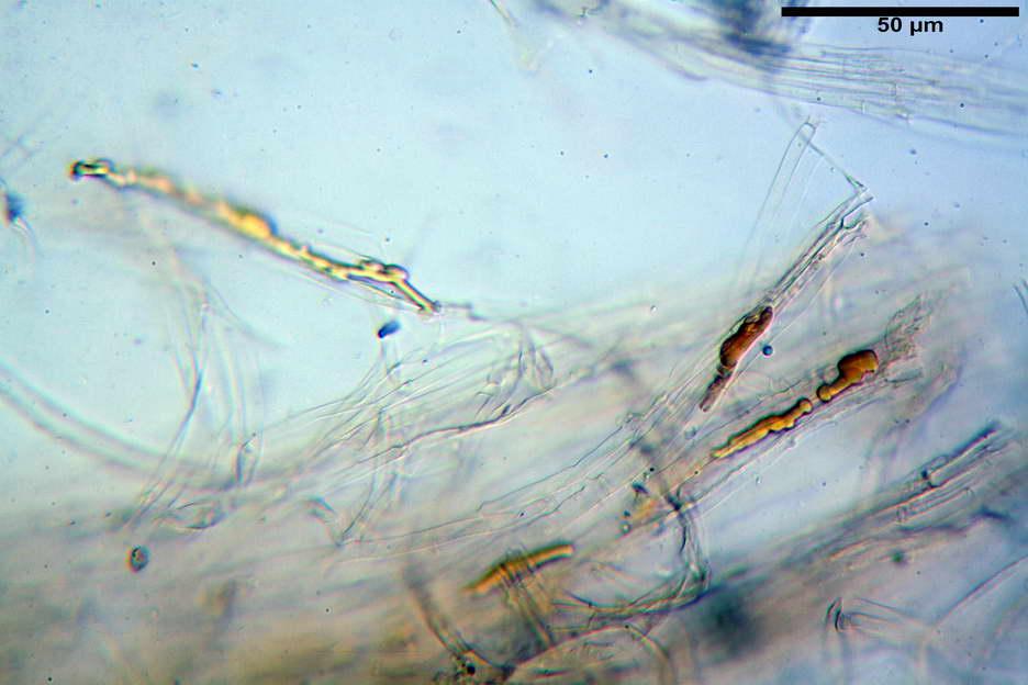 pholiota higlandensis 4837 40.jpg