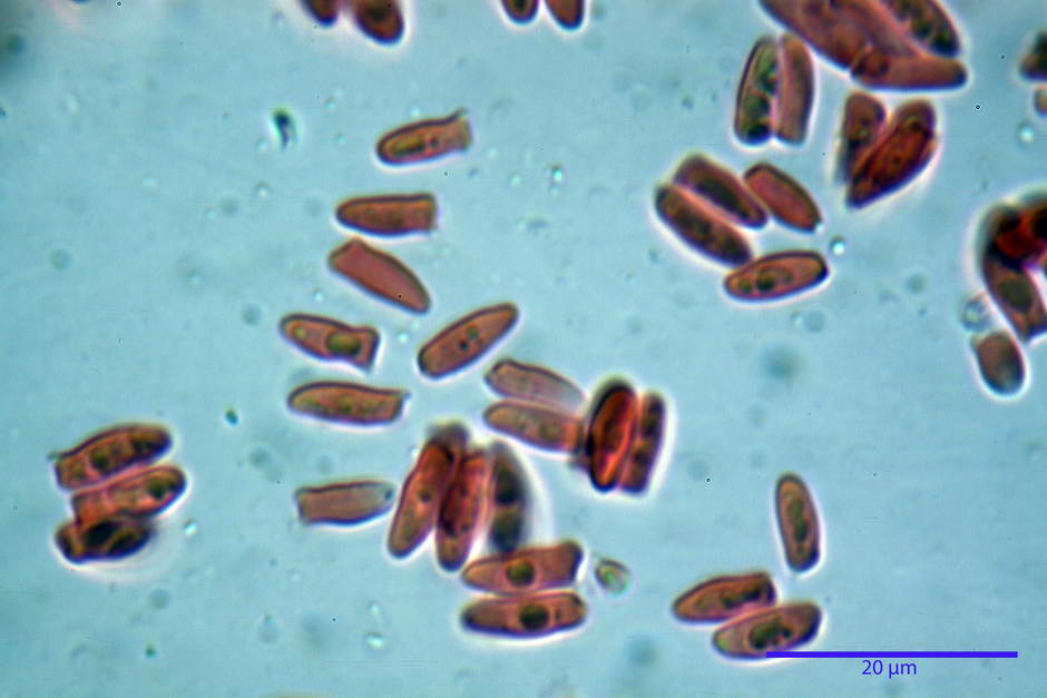lepiota griseovirens 4598 17.jpg