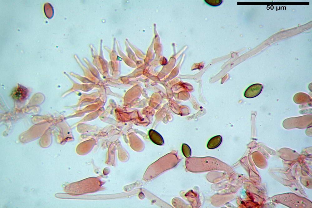 psilocybe semilanceata 4872 30.jpg