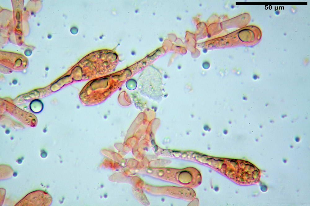 amanita ceciliae 35.jpg