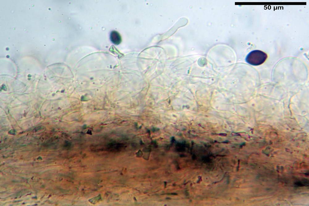 panaeolus papilionaceus var papilionaceus 5070 08.jpg