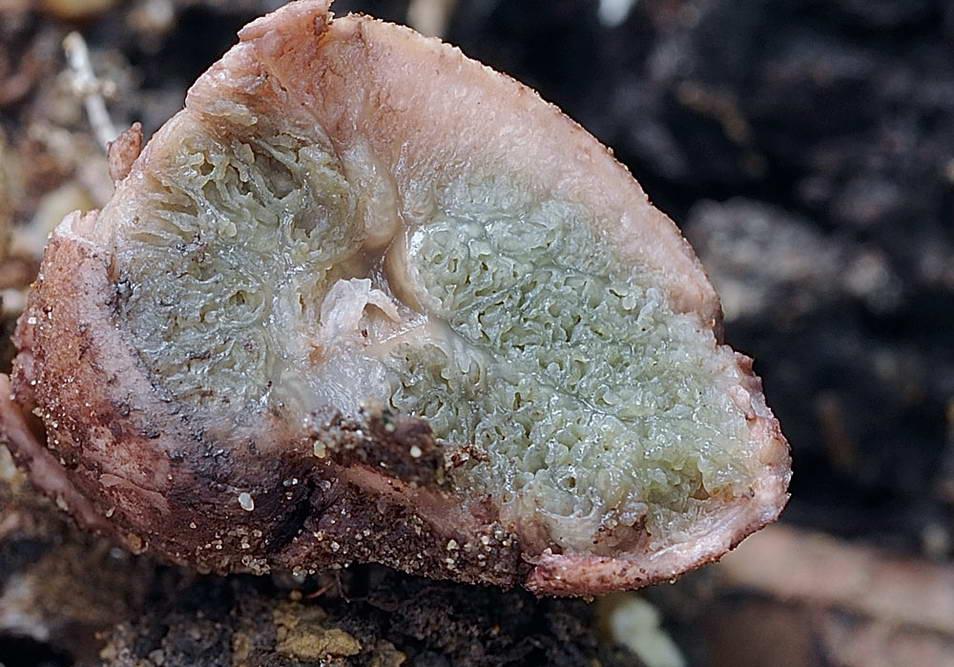 hysterangium coriaceum 5056 5.jpg