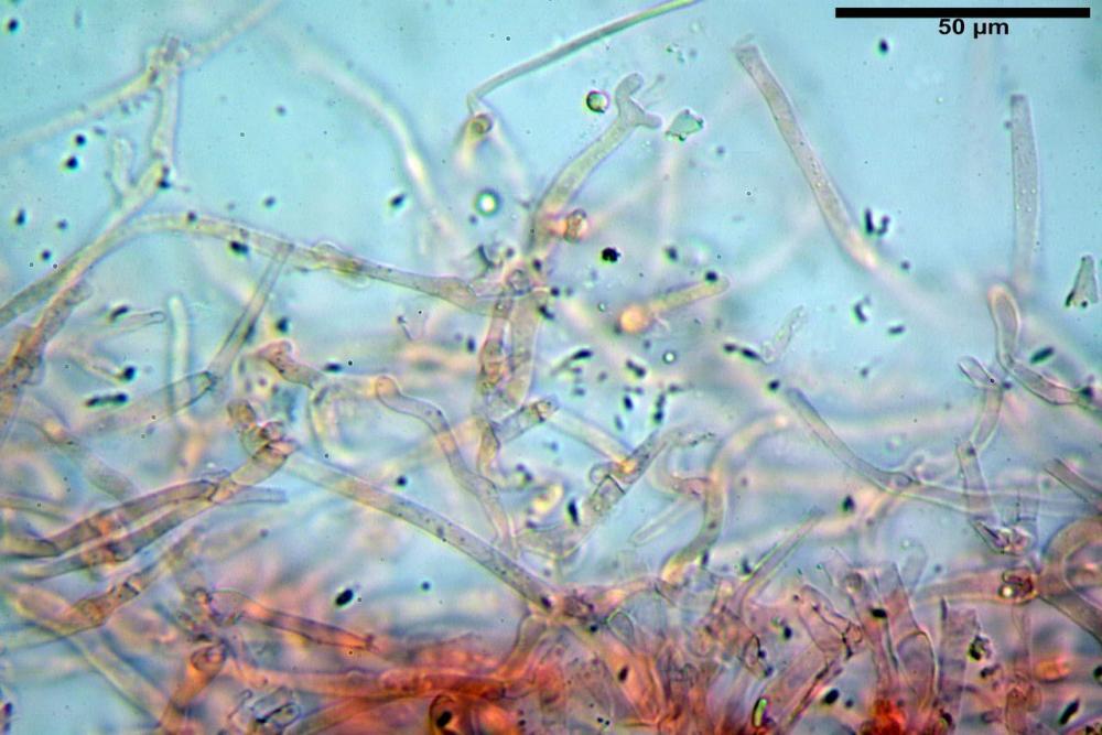 Hypholoma radicosum 6693 04.jpg