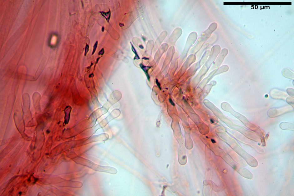 panaeolus papilionaceus var papilionaceus 4682 docx 61.jpg