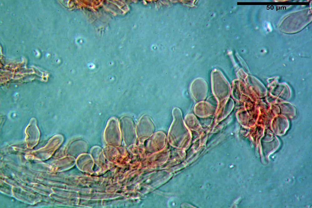 coprinopsis 50.jpg