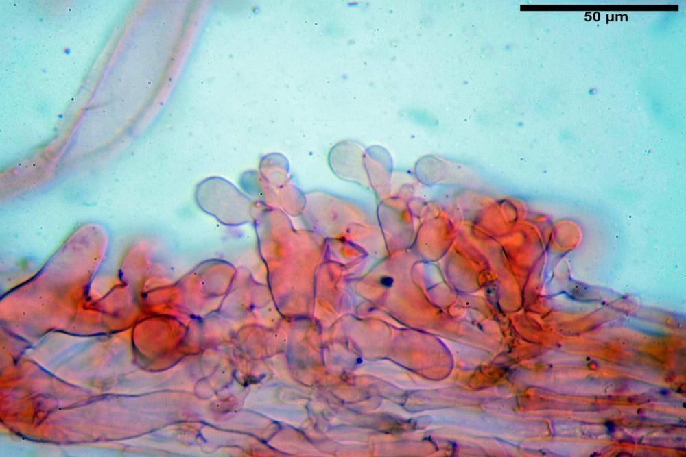 Pholiotina dasypus 7474 27.JPG