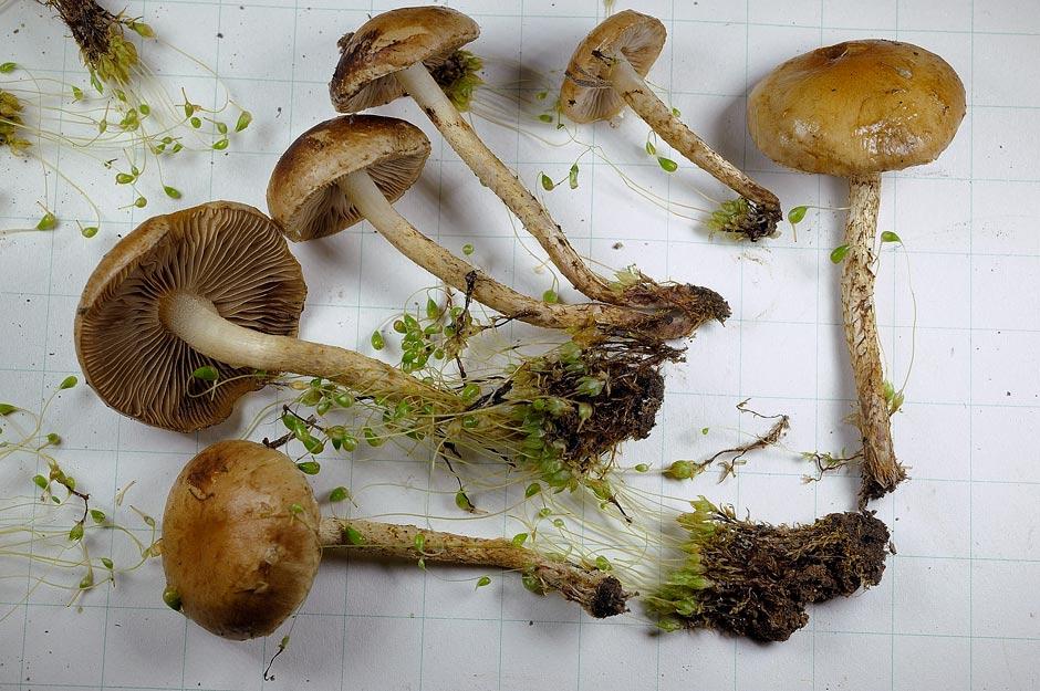 pholiota higlandensis 4837 05.jpg