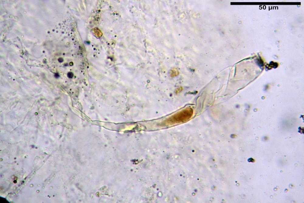 Russula graveolens 6800 22.jpg