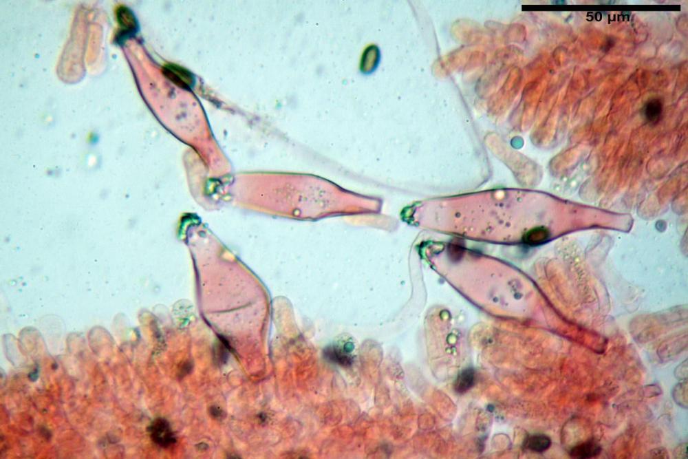 Psathyrella olympiana 47.jpg