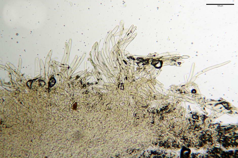 lepiota griseovirens 4598 03.jpg