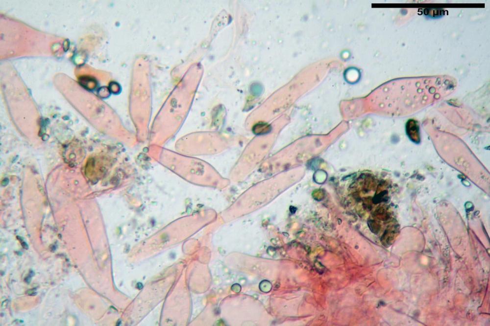 Psathyrella olympiana 34.jpg