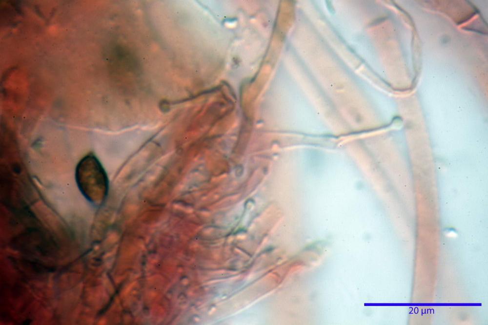 Phaeocollybia lugubris 6657 84.jpg