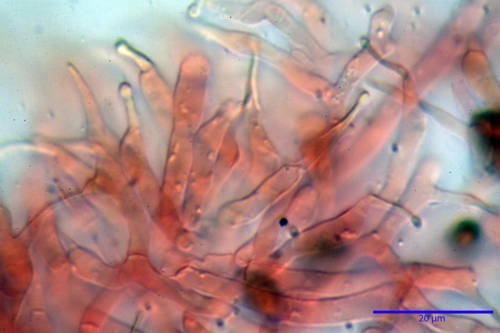 Phaeocollybia lugubris 6657 47.jpg