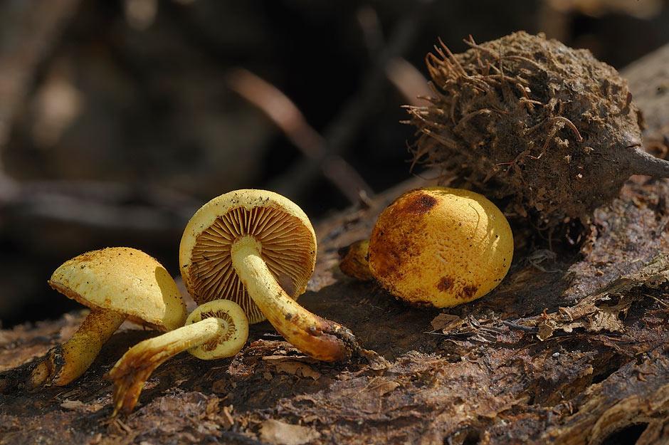 pholiota tuberculosa 4736 03.jpg