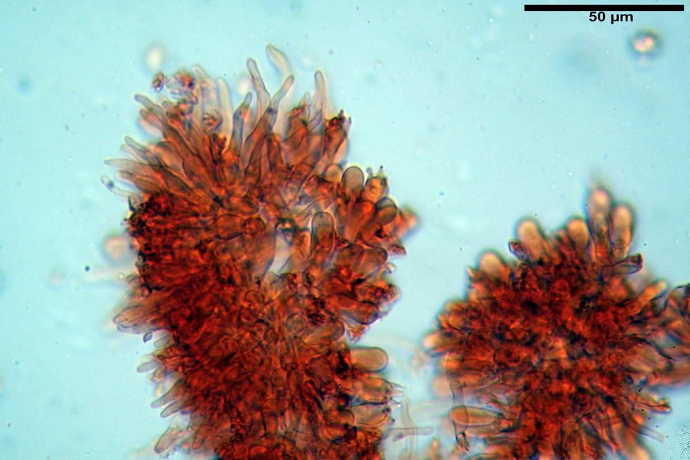 flammulaster carpophilus var carpophilus 4860 23_resize.jpg