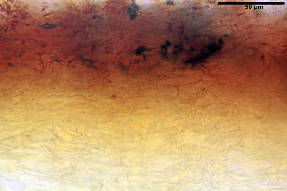 pholiota higlandensis 4837 07.jpg