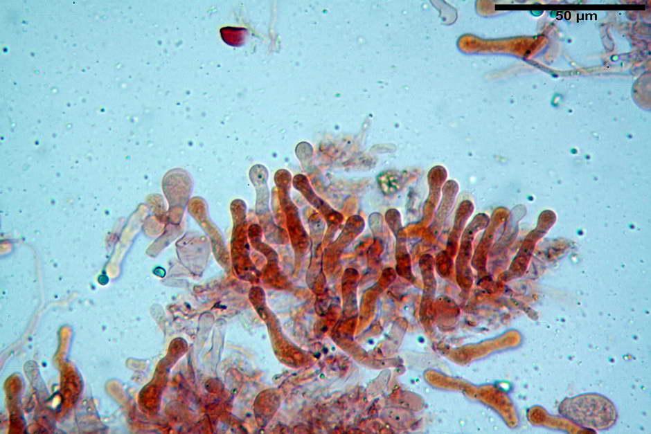 panaeolus papilionaceus var papilionaceus 4682 docx 23.jpg