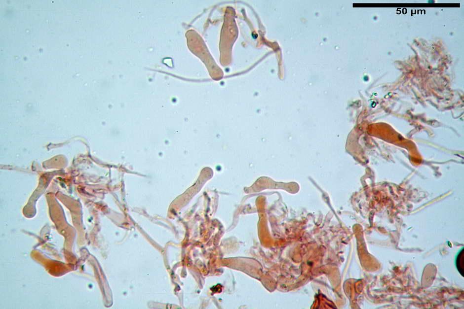 panaeolus papilionaceus var papilionaceus 4682 docx 32.jpg