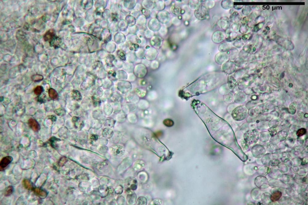 Psathyrella olympiana 40.jpg