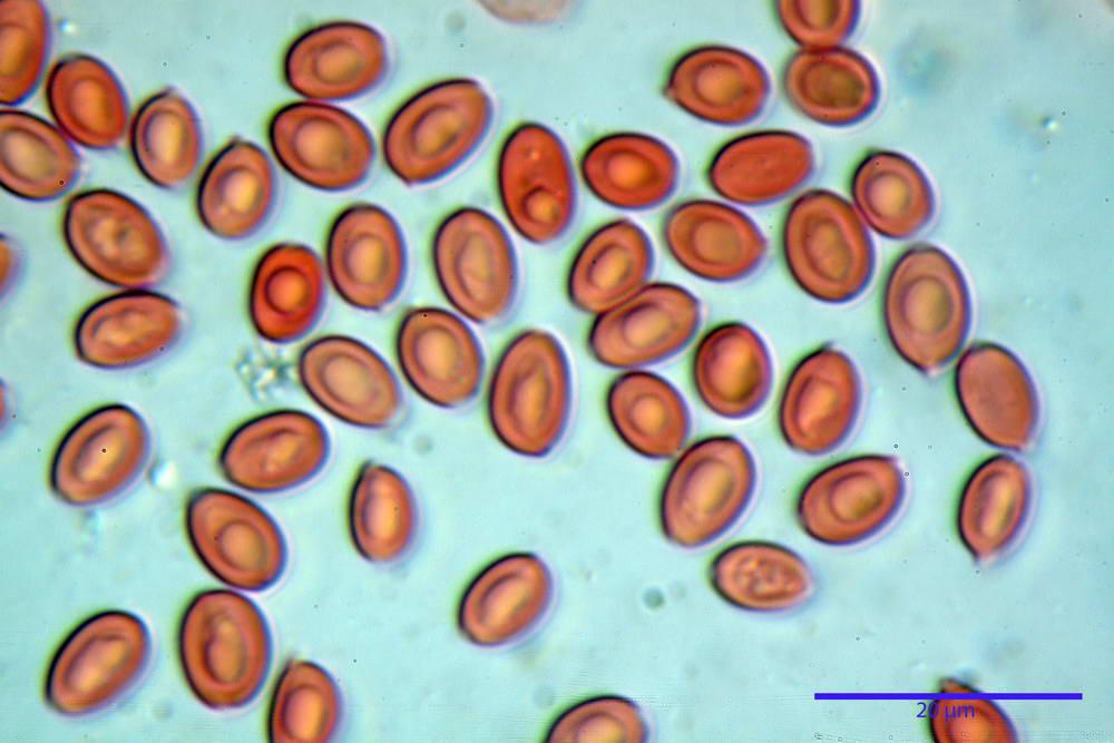 leucoagaricus cinerascens 5025 72.jpg