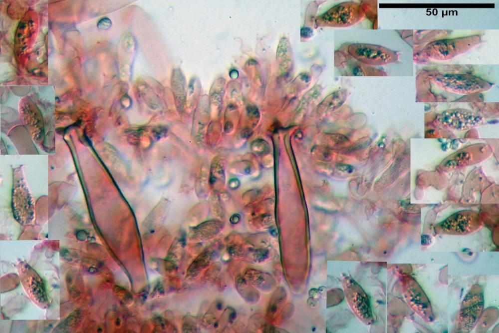 pluteus sandalioticus 51 .jpg