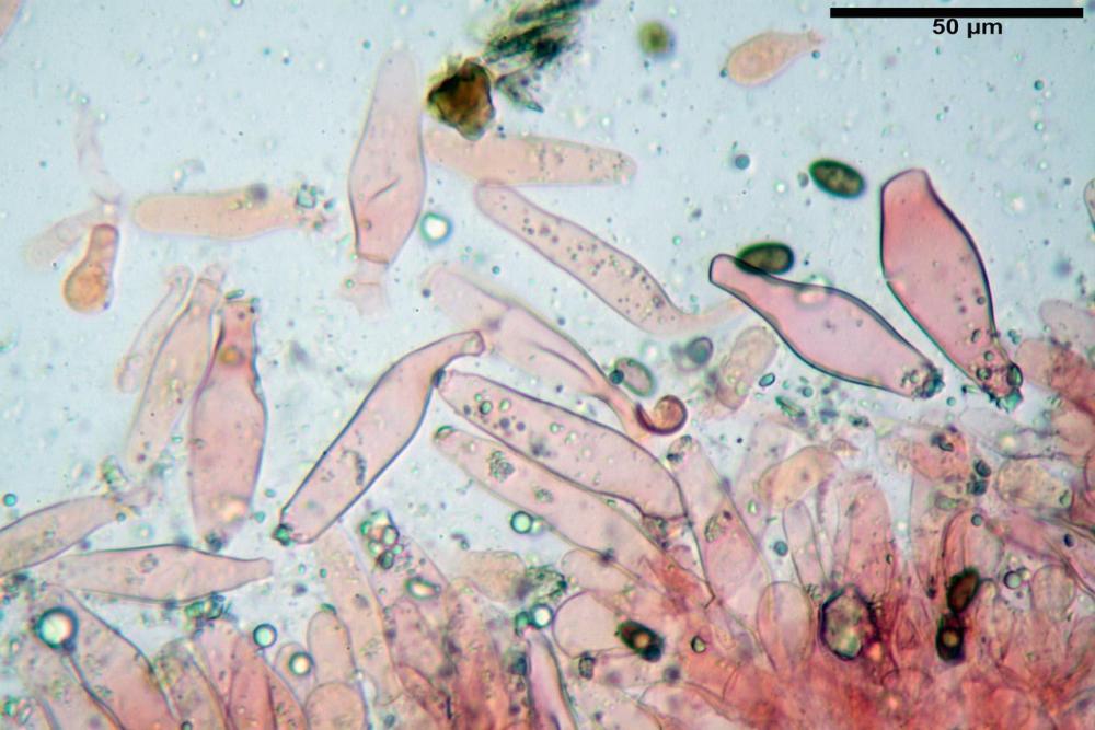 Psathyrella olympiana 32.jpg