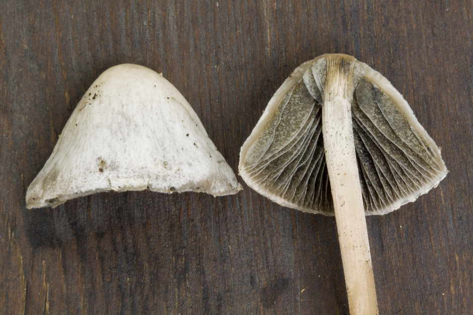 panaeolus papilionaceus var papilionaceus 4682 docx 07.jpg