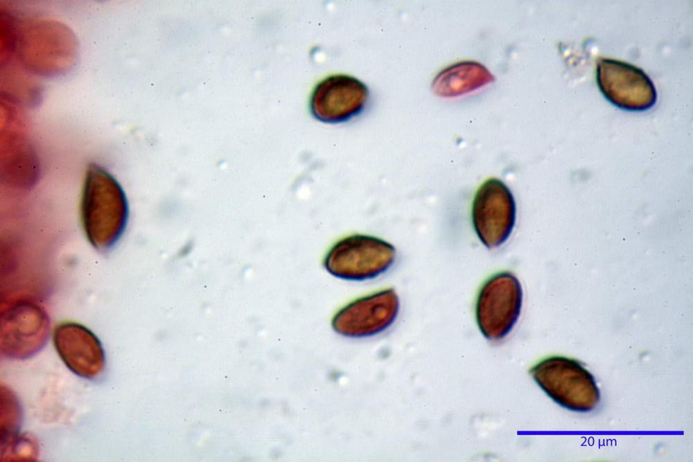 Phaeocollybia lugubris 6657 70.jpg