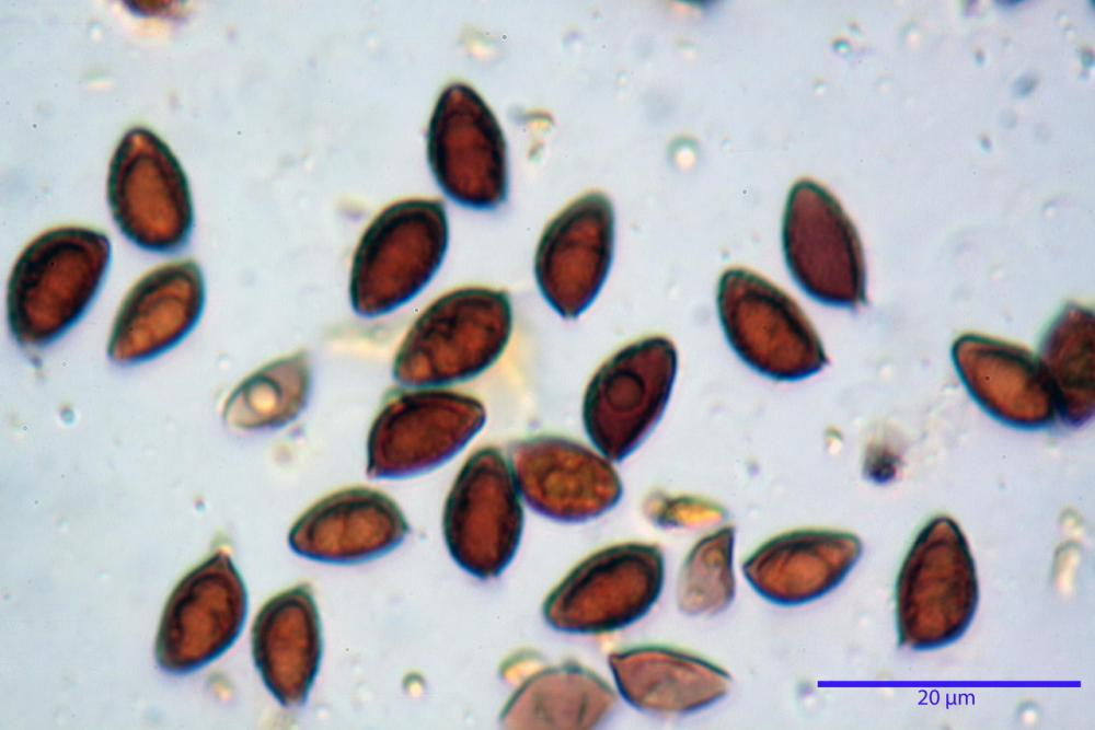 Hebeloma laterinum 5364 53.jpg