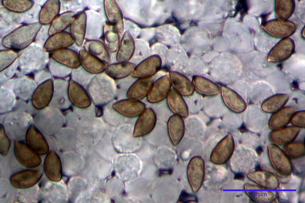 Inocybe phaeodisca var geophylloides 5226 31.jpg