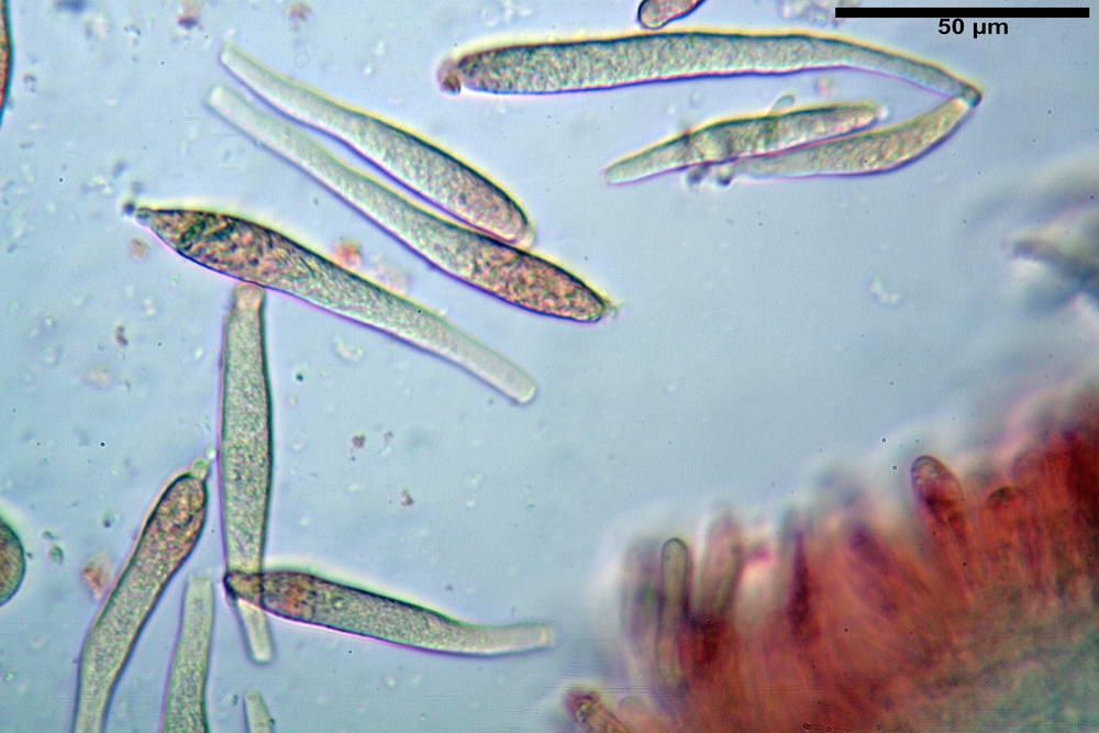 russula farinipes 5001 52.jpg