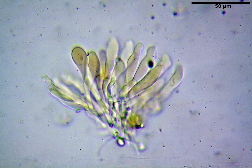 leucoagaricus cinerascens 5025 22.jpg