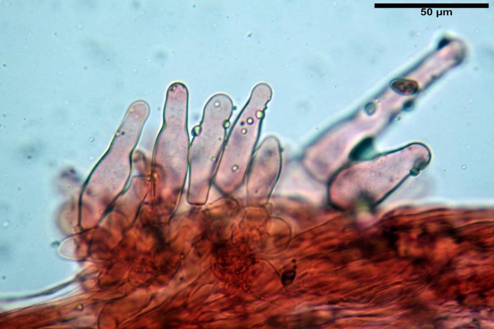 Psathyrella olympiana 67.jpg
