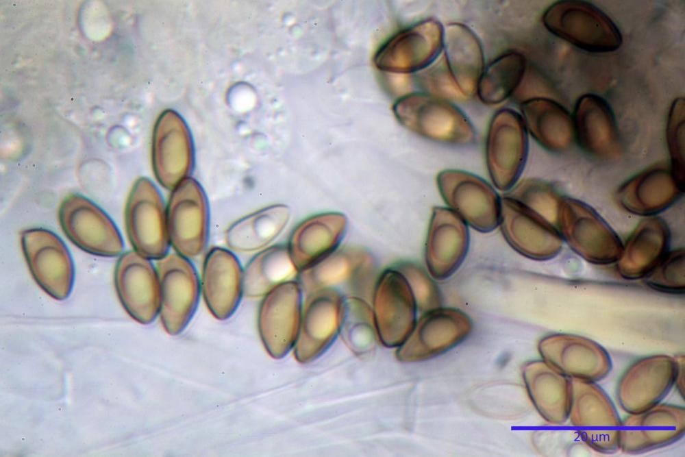 Inocybe flocculosa var crocifolia 7068 66.jpg
