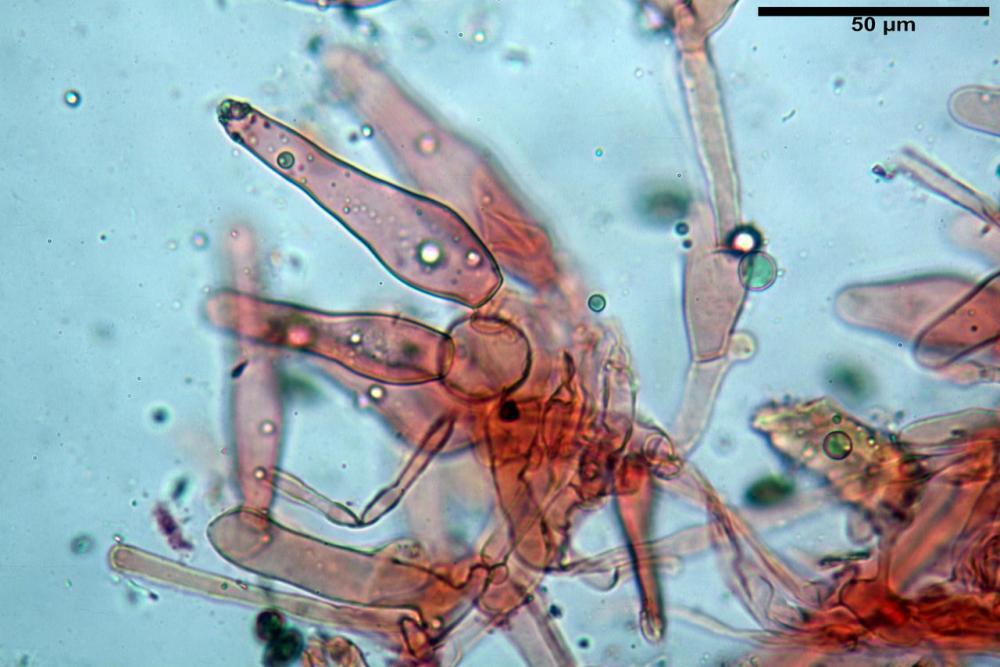 Psathyrella olympiana 69.jpg
